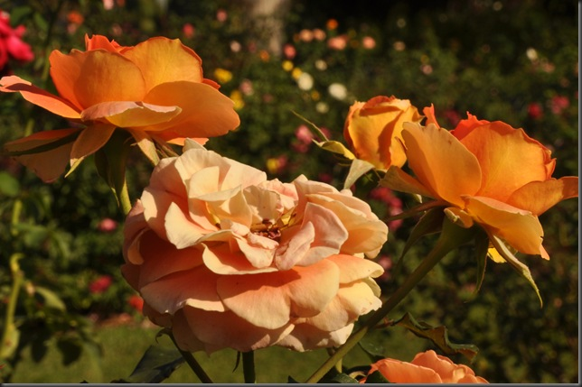 A study of roses 2
