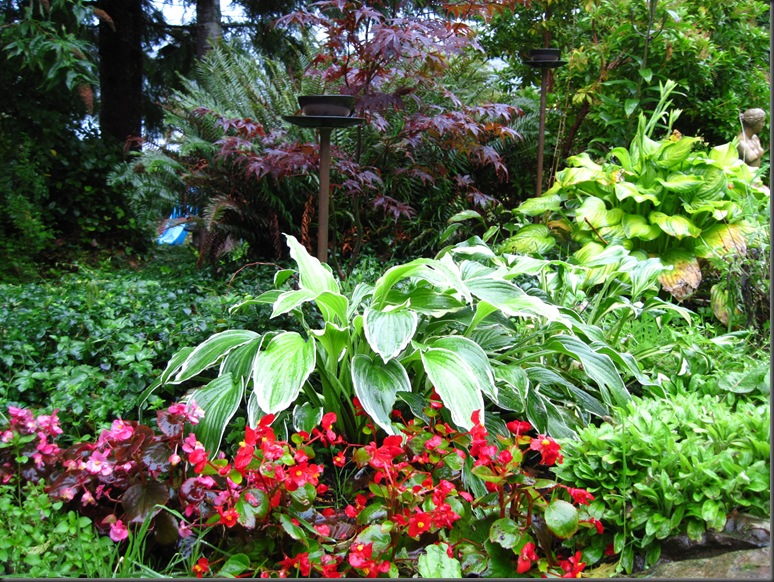 Begonia and hostas