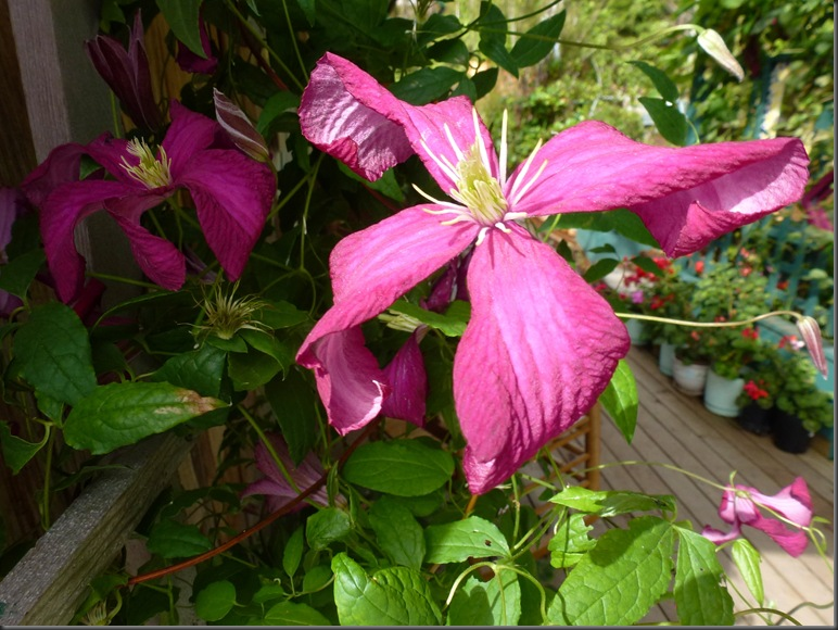 Clematis on the deck
