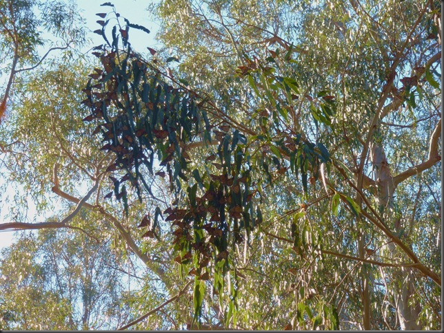 A cluster of monarch butterflies @ Pismo Beach, California!