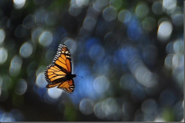 A monarch butterfly @ Pismo Beach California Nov. 2012
