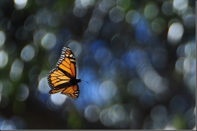 A monarch butterfly @ Pismo Beach California Nov. 2012