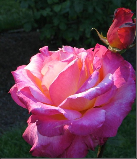 A Rose at the International Rose Garden