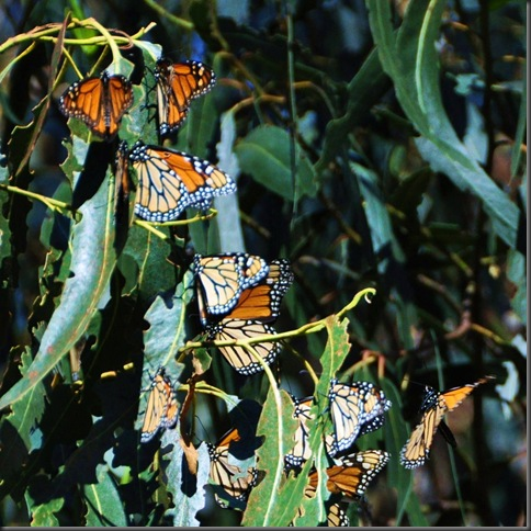 Monarchs in decline - Nov. 2012