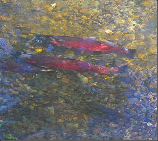 Coho spewing with cuthroat waiting - Charles Brandt
