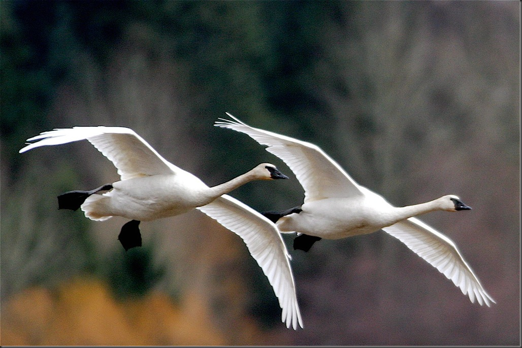 Trumpeter Swans - by Fr.Charles A.E. Brandt