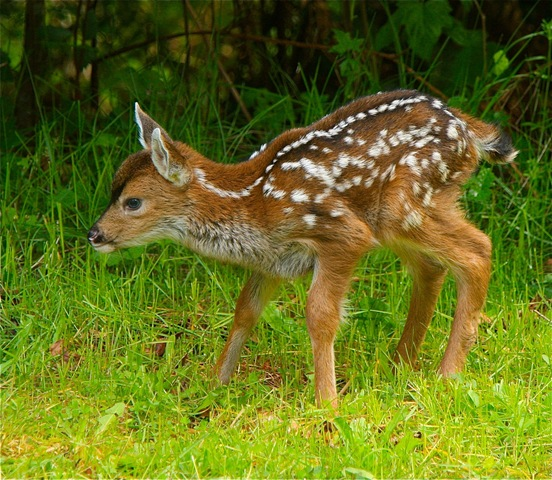 Day old fawn[2] - by Charles A.E. Brandt