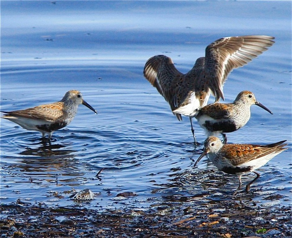 Dunlins Feeding at OysterBay, BC - by Charles A.E. Brandt