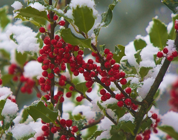 Holly berries at the hermitage of Charles A.E. Brandt