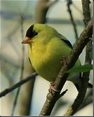 American Goldfinch - Charles A.E. Brandt