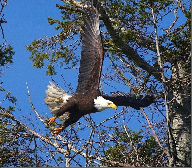 Bald eagle - Charles A.E. Brandt