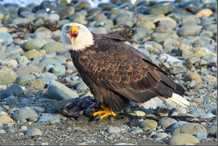 Defiant Bald Eagle - Charles A. E. Brandt