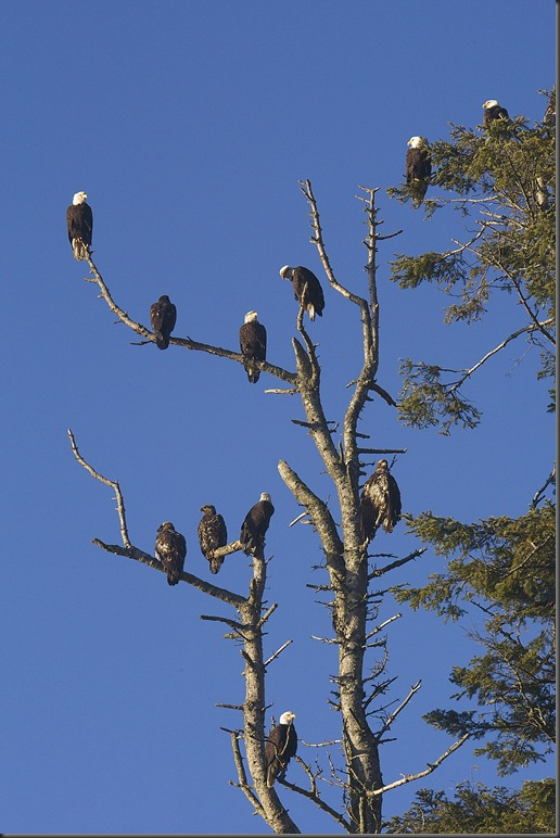 Eagles on the Comox reserve