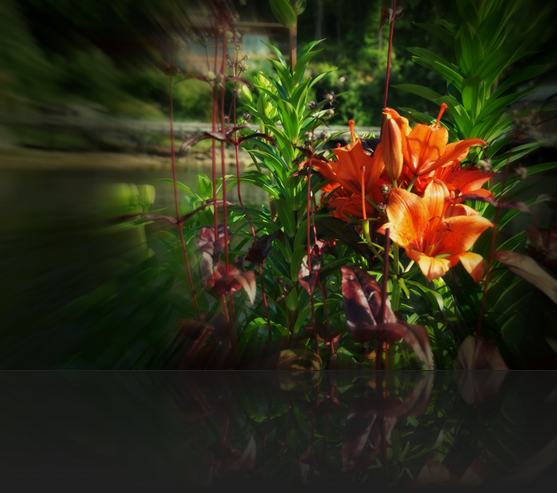 Flowers in Lund - Soft focus with orton effect - Tiger Lilies in Lund, BC