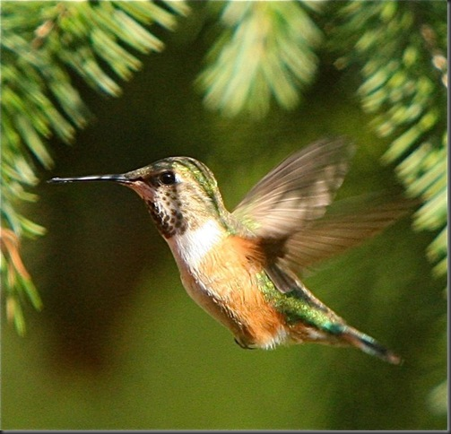 RufousHummingbird-2[1]