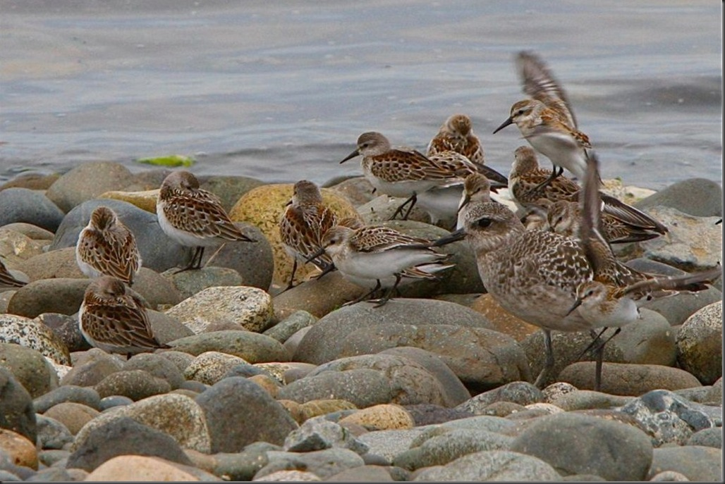 Western Sandpipers Black Bellied Plover - Charles A.E. Brandt