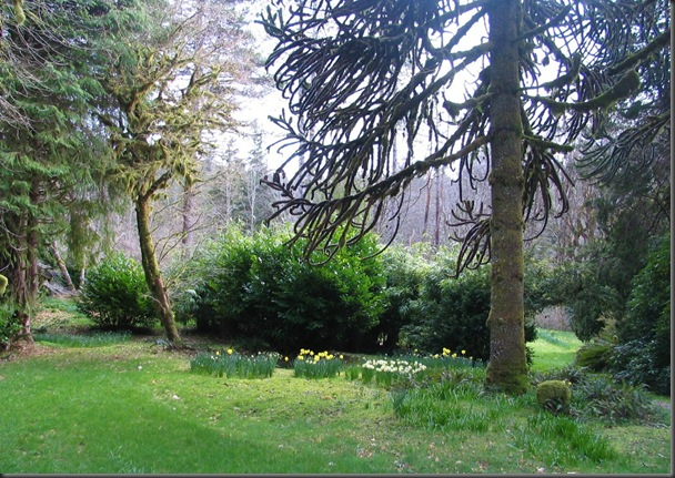 Ronnings Garden daffodils