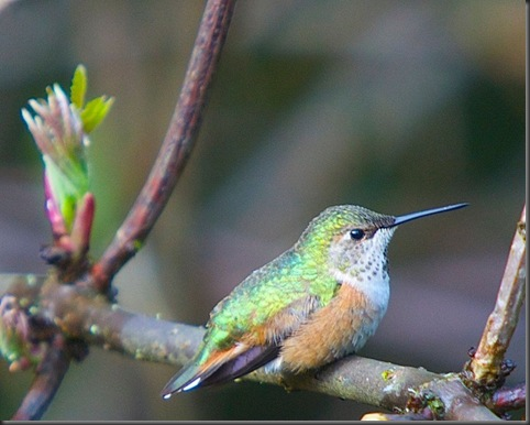 Rufous Hummingbird and Red Elderberry - March 24 2014 Charles Brandt photo