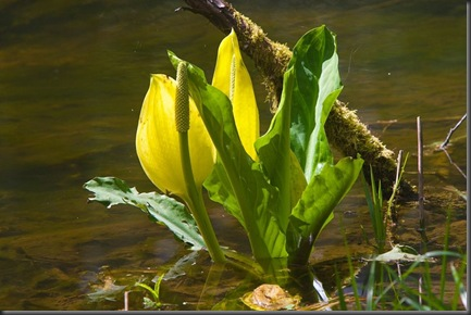 Skunk Cabbage - May 2 2014 Charles Brandt photo