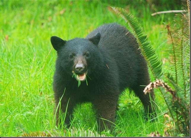 Black Bear @ the Hermitage, Black Creek - Charles Brandt photo