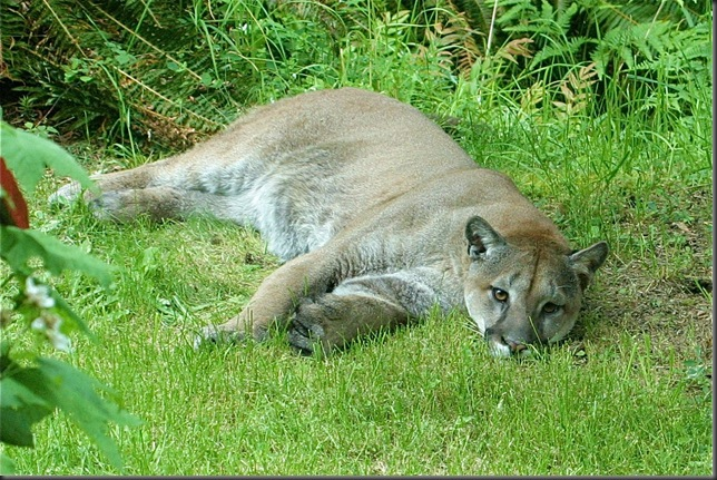 Cougar  @ hermitage June 8, 2010 Charles Brandt photo