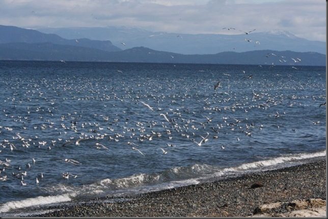 Gulls feeding on Herring spawn- Charles Brandt photo