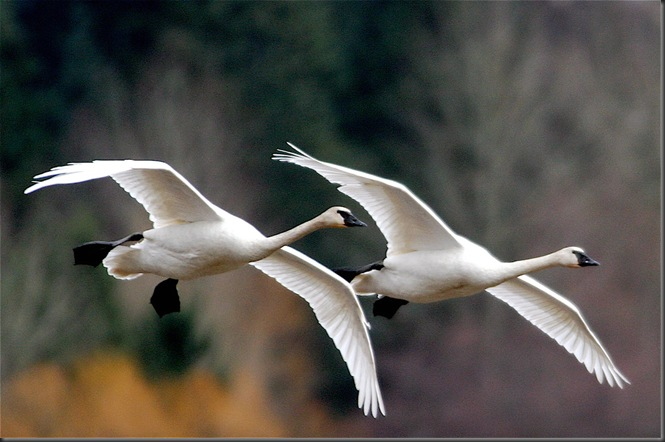 TrumpeterSwans - Charles Brandt photo
