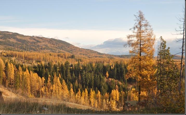 Western Larch near Cranbrook BC - Oct. 26,2014 - Bruce witzel photo