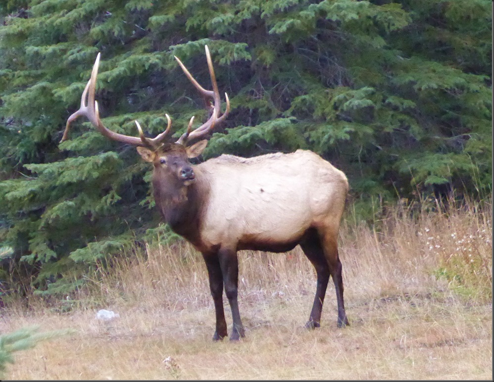 Elk in Banff National Park - Bruce Witzel photo