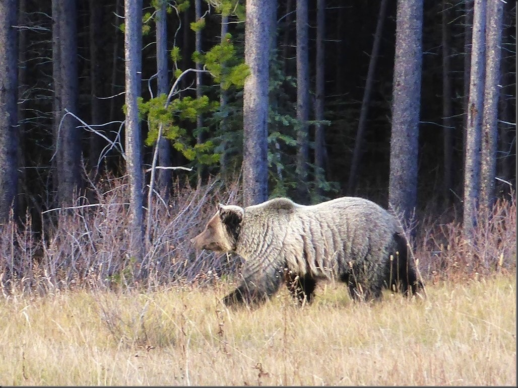 grizzly-bear-in-kananaskis-country-guenette-photo