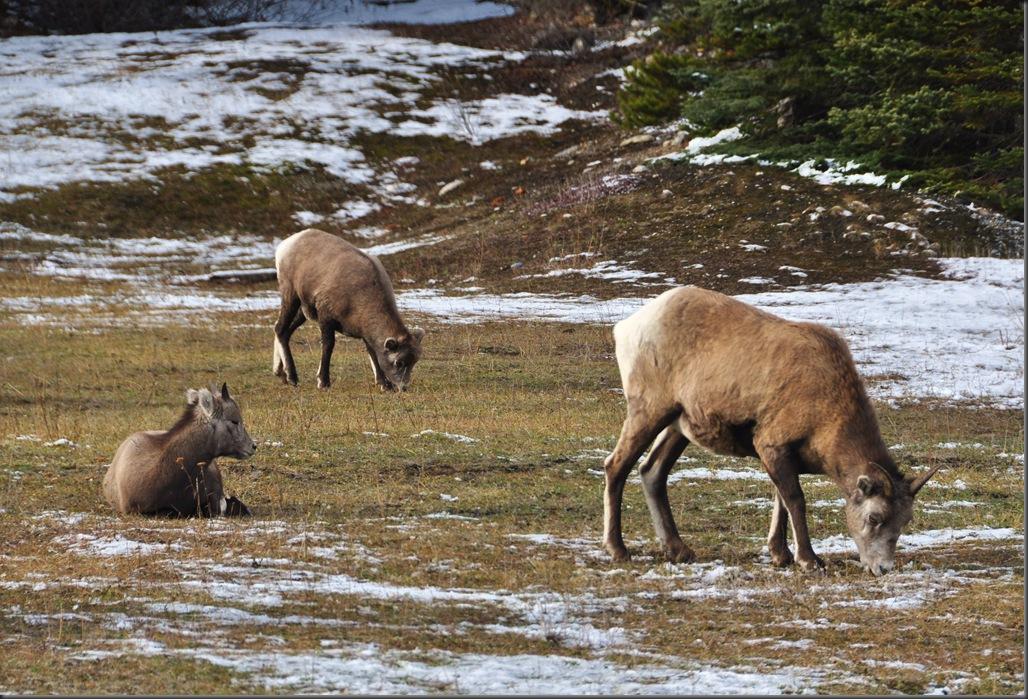 Mountain Sheep - Bruce Witzel photo