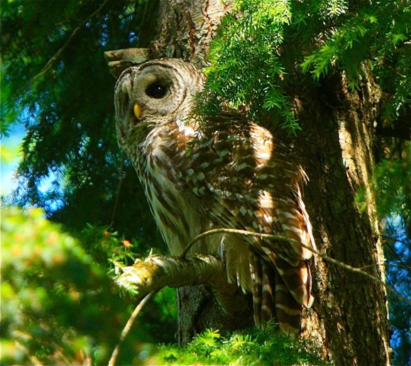 Barred Owl - charles brandt photo