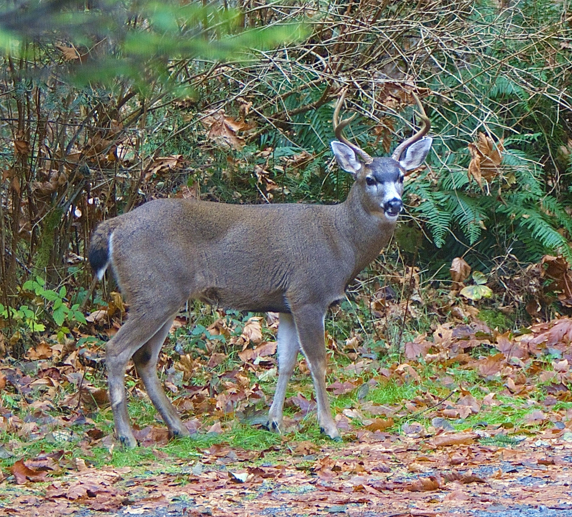 Buck deer @ Hermitage - Nov 18,2014  charles brandt photo
