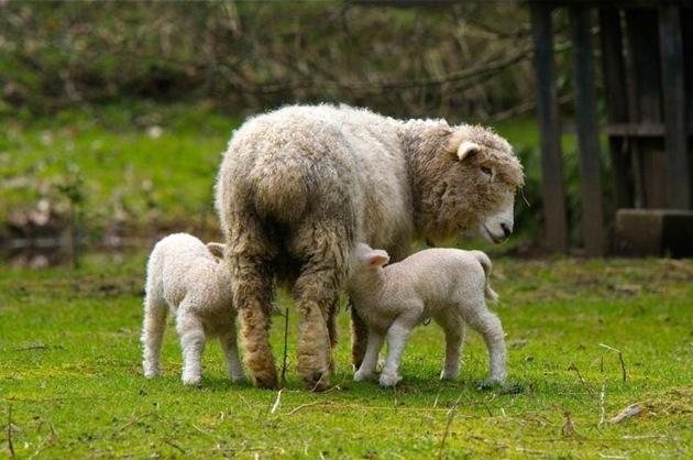 Lambing Time - charles brandt photo