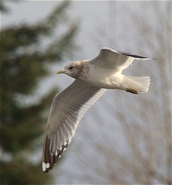 Mew Gull in Flight - charles brandt photo