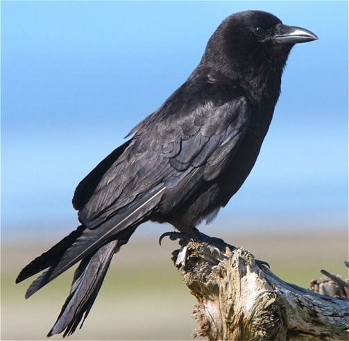 Northwestern Crow - charles brandt photo