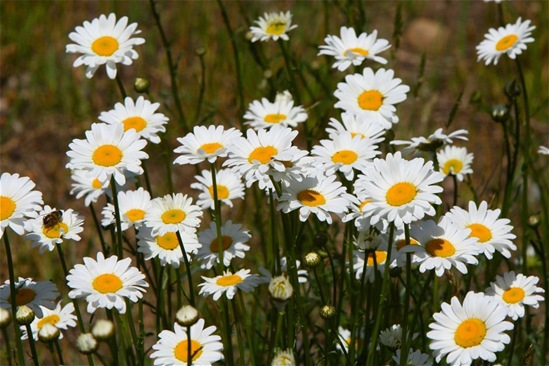 Oxeye Daisies - Charles Brandt photo