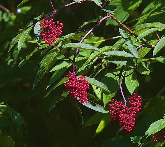 Red Elderberry, June 22, '14, Black Creek, B.C. charles brandt photo