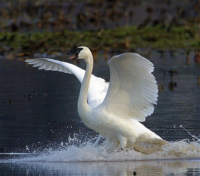Trumpeter Swan - by Charles A.E. Brandt