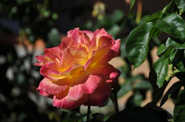 A rose  - bruce witzel photo