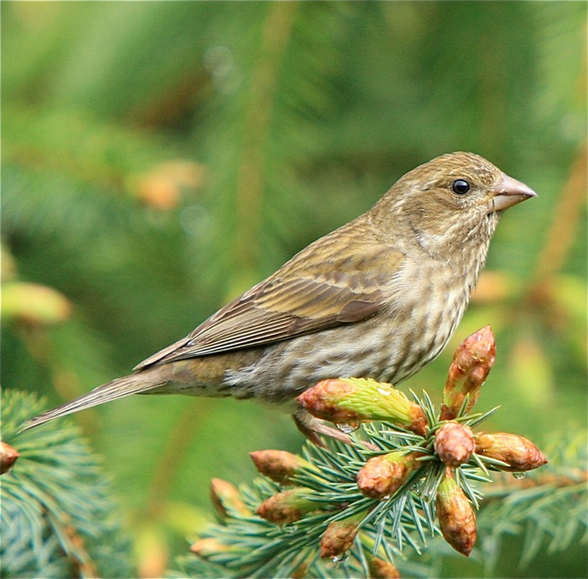 House Finch (female) - by Charles A.E. Brandt