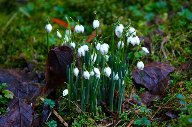 Snowdrops - charles brandt photo