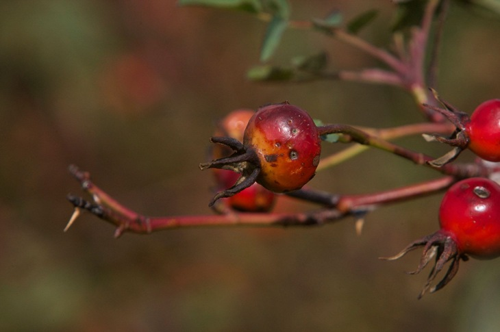 Wild Rose rose hips Courtenay airpark Sept 27 2014 - charles brandt photo