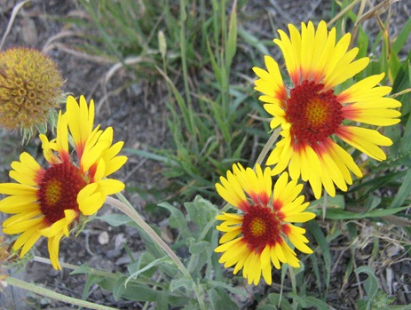 Wildflowers at Nez Perez Historic Park, Big Hole National Battlefield, Montana - bruce witzel photo