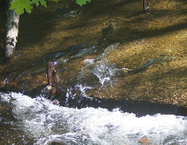 Pink Salmon moving upstream  Hatchery  August 19 2015 - charles brandt photo