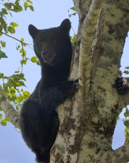 Cub in tree - Bruce Witzel photo