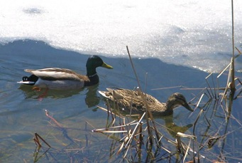 With ice in the pond - bruce witzel photo