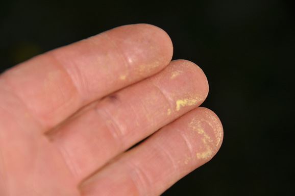 Alder pollen on my fingers - bruce witzel photo