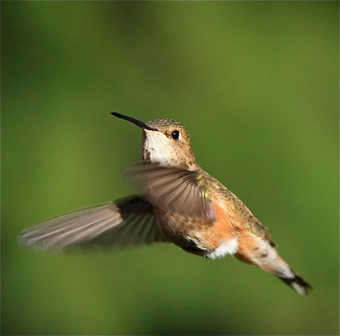 Rufous Hummingbird - charles brandt photo