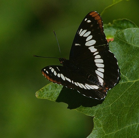 Butterfly - Charles Brandt photo